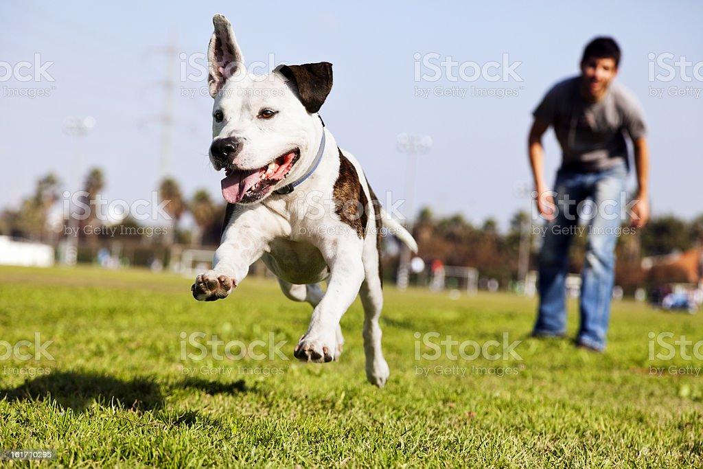 Mid-Air Running Pitbull Dog stock photo