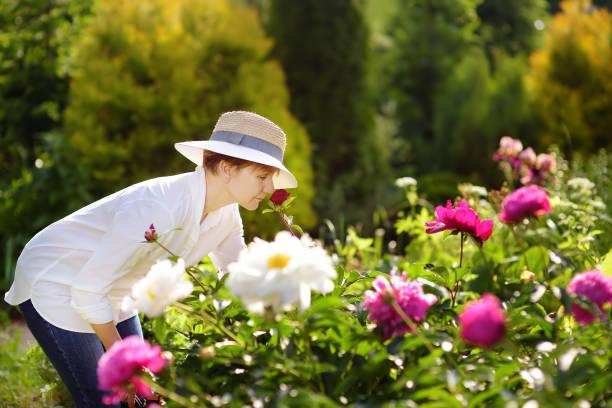 mittleren alters weibliche gärtner schnuppert frische pfingstrose. - pfingstrosen pflege stock-fotos und bilder