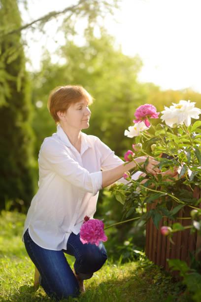 mittleren alters weibliche gärtner. frau mit secateur im heimischen garten im sommertag. - pfingstrosen pflege stock-fotos und bilder