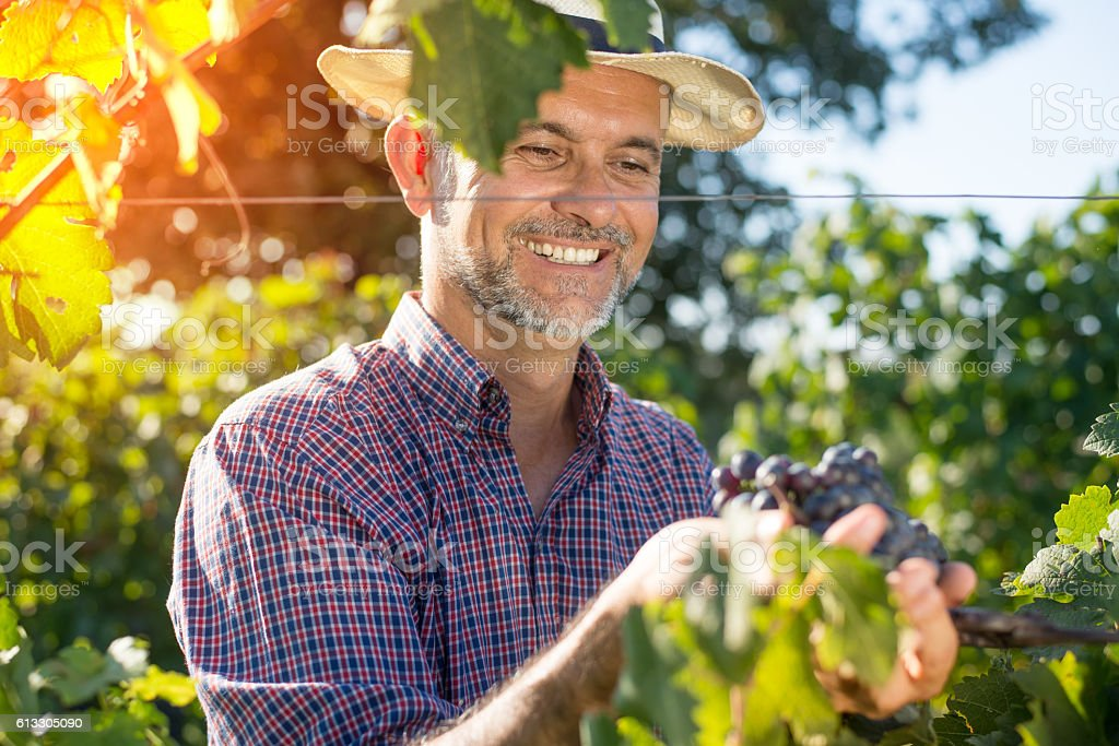 Middle age worker picking ripe grapes stock photo