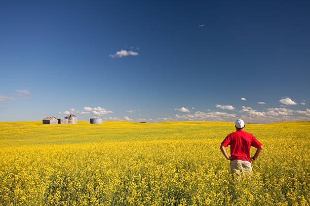 Middle Aged Caucasian Farmer Standing in Yellow Canola Field A farmer checking out his canola crop. Middle aged Caucasian farmer standing in yellow ripe rapeseed field. Rolling field in southern Saskatchewan, Canada in remote, rural region. Image has agricultural theme. Additional topics include: farming, growing, examining, agricultural, canola oil, rapeseed oil, occupation, farm life, rural life, contentment, blue collar, crop, plains, field, and lifestyle.  canola stock pictures, royalty-free photos & images
