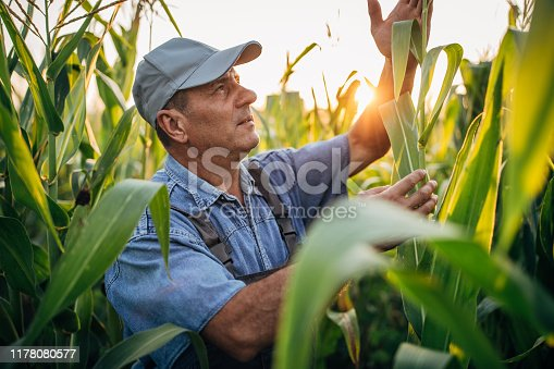 Middle aged farmer examining corn field on his farm