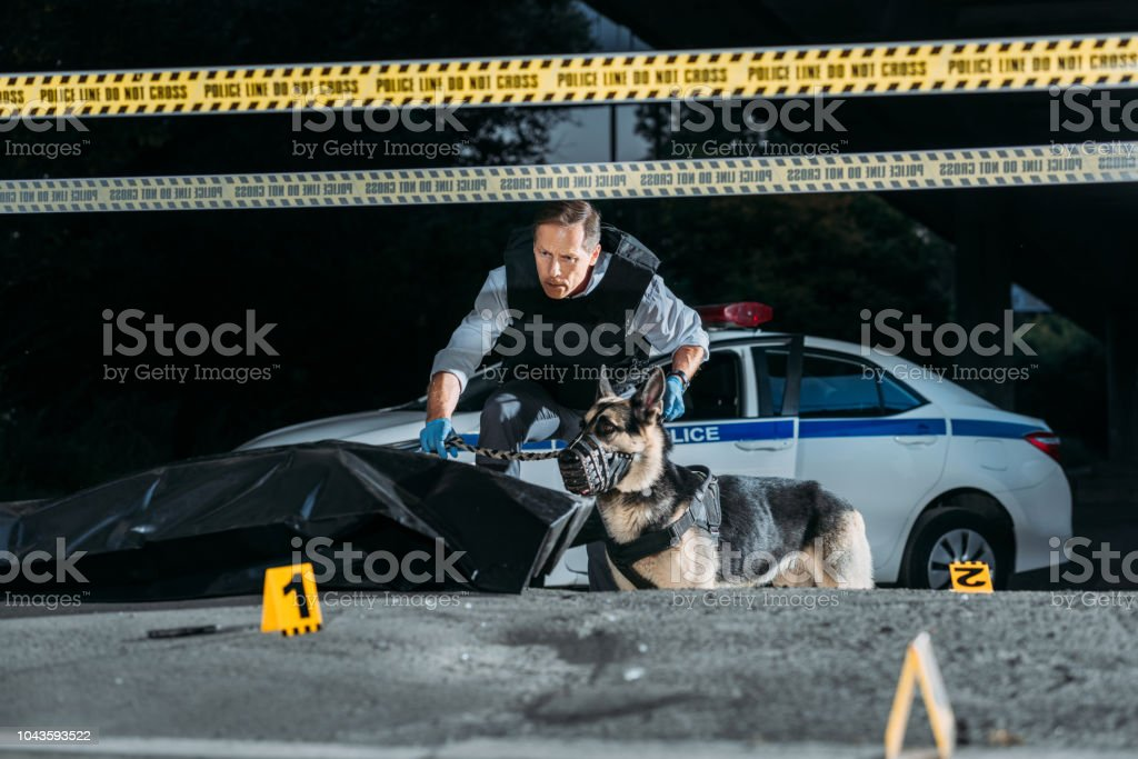 middle aged policeman holding german shepherd on leash at crime scene with corpse in body bag stock photo