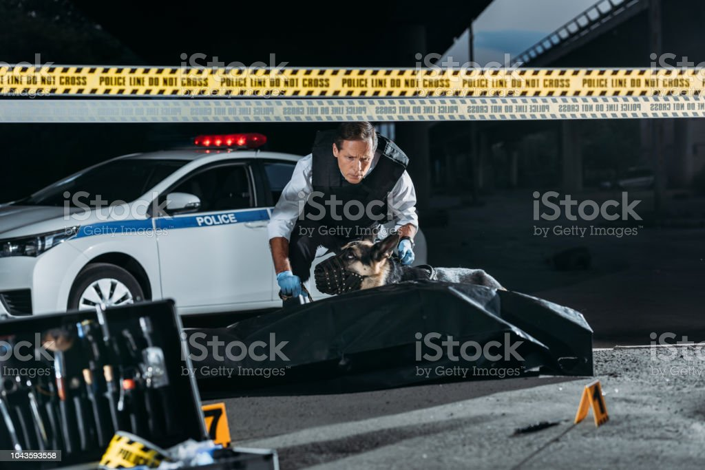 middle aged policeman holding german shepherd on leash at crime scene with corpse in body bag and case with investigation tools stock photo