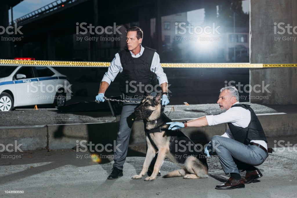 middle aged policeman pointing by finger to colleague with dog on leash near cross line at crime scene stock photo