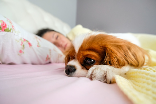 King Charles dog laying next to person in bed.