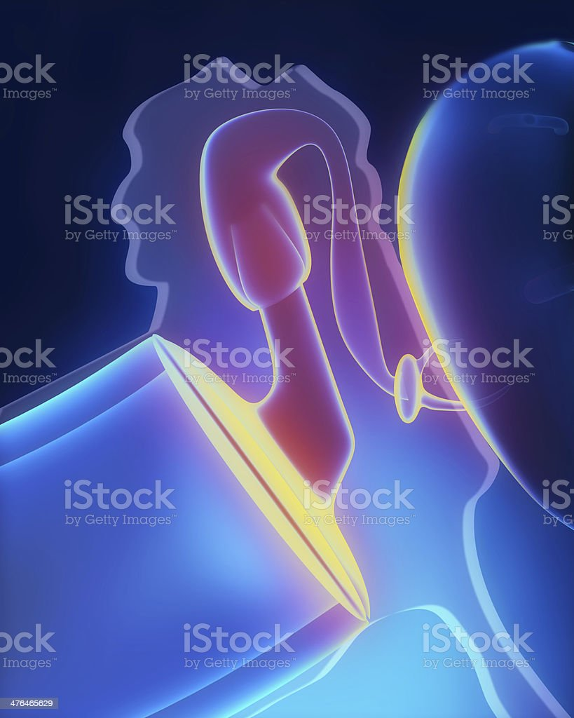 Middle ear anatomy stock photo