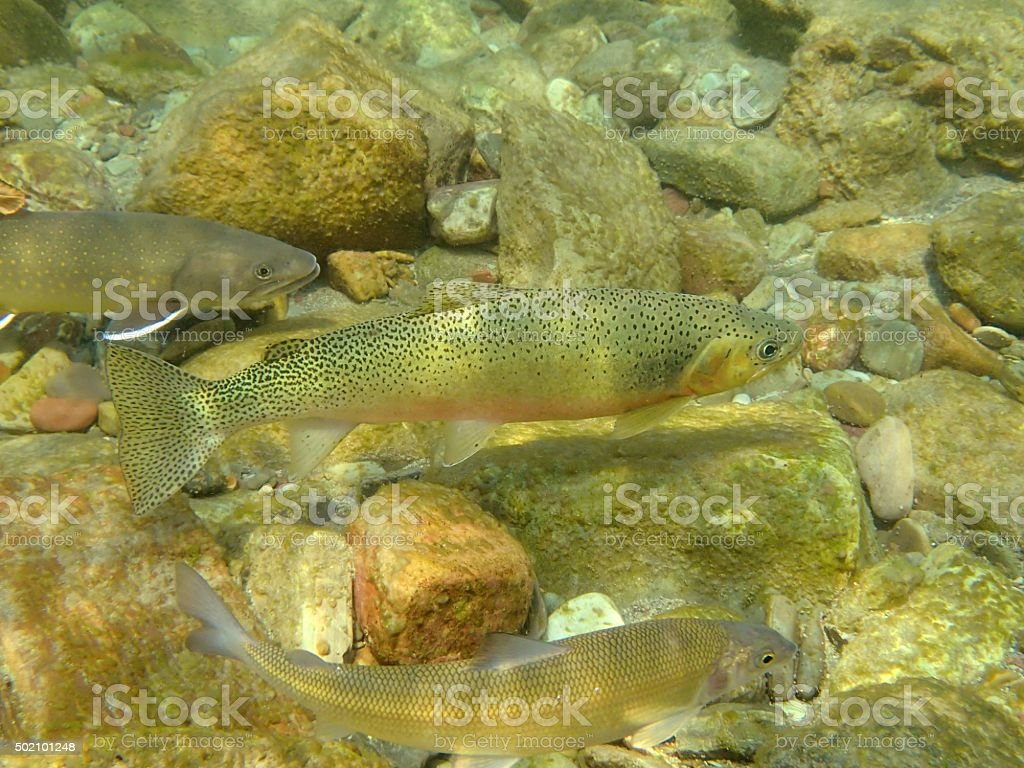Middle Fork Fish stock photo