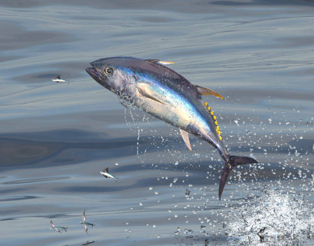 Middle of ocean big blue fin tuna jumping to catch flying fishes 3d Render stock photo