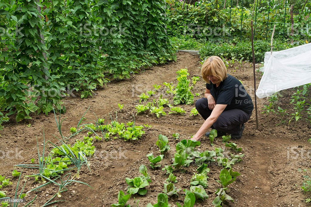 Middleaged woman on her organic vegetable garden,checking growth stock photo