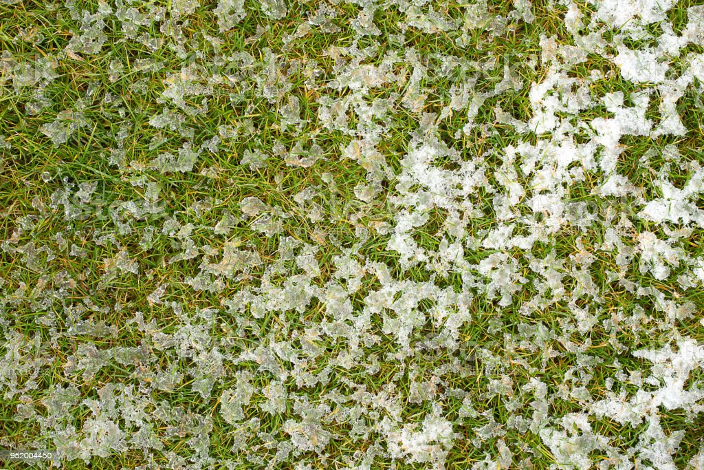 Mid-high lawn with melting snow texture. Park lawn texture. Top view, overhead shot. Grassplot surface backdrop. Divet underlay, decorative background. Green yellow lawn with melting snow desktop. stock photo