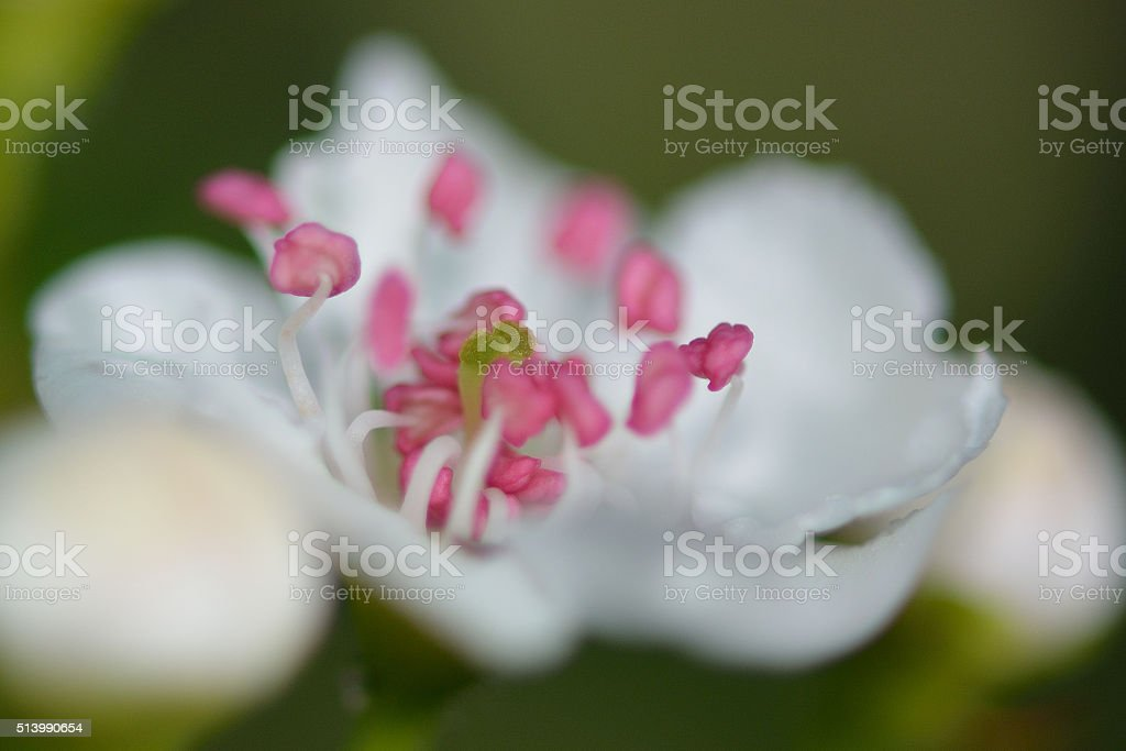 Midland hawthorn (Crataegus laevigata) stock photo