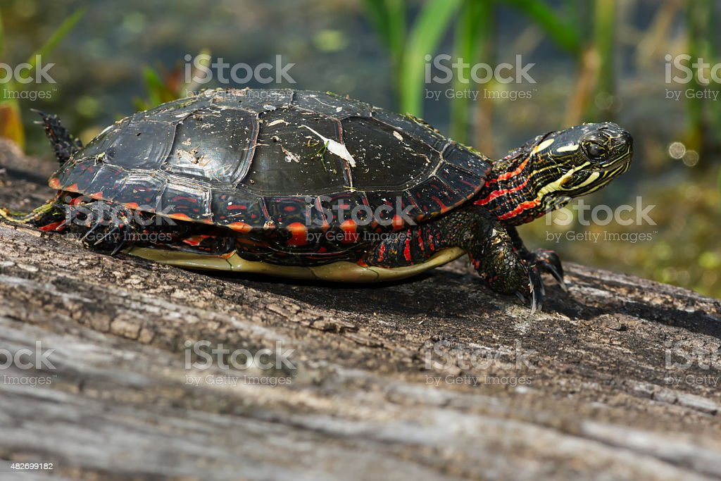Midland Painted Turtle royalty-free stock photo