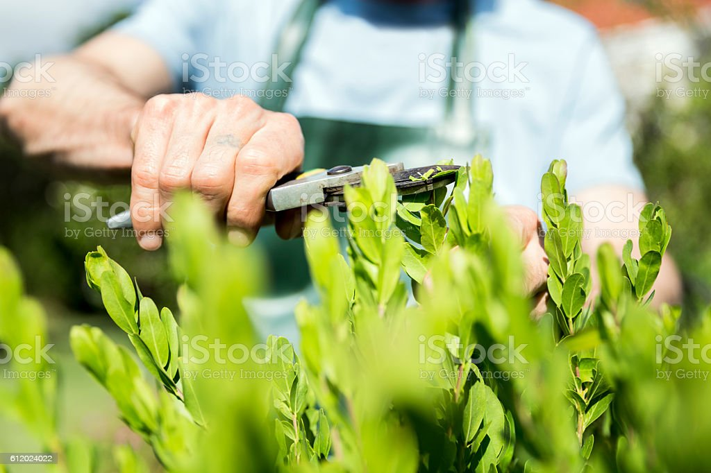 Midsection of man pruning plants in yard stock photo