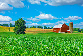 Spring corn crop fills the foreground leading back to a farm with a red barn and rolling hill background with clouds above, Midwest USA