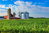 Spring corn crop; farm with barn, Midwest USA; agriculture; crop with barn; crop field, corn field; Indiana farm; Ohio farm; Iowa farm