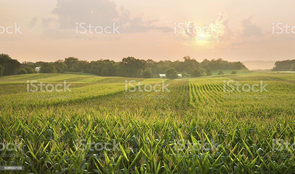 Midwestern cornfield below setting sun stock photo