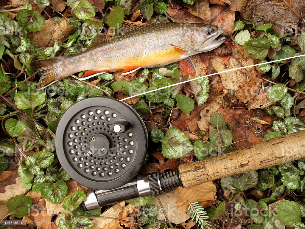 Midwinter Brook Trout royalty-free stock photo
