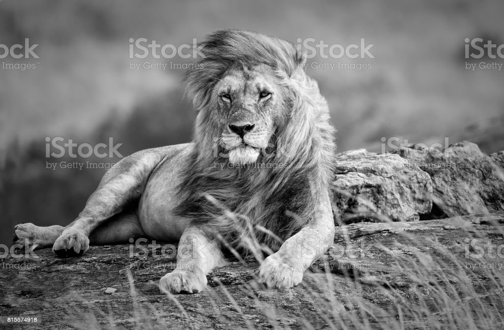 Mighty and beautiful lion resting in the African savannah, black and white stock photo