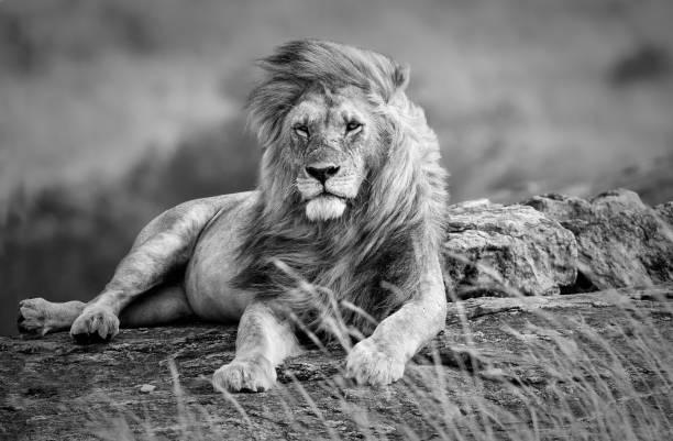 Güçlü ve güzel aslan Afrika savana, siyah ve beyaz dinlenme stok fotoğrafı