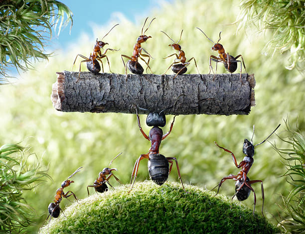 Mächtige ant Camponotus Herculeanus – Foto
