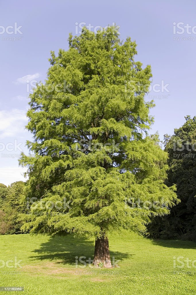 mighty bald cypress royalty-free stock photo