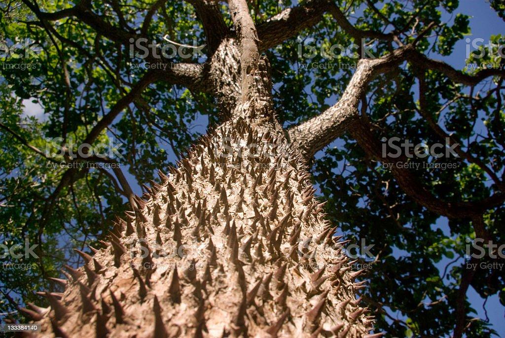 mighty ceiba tree stock photo