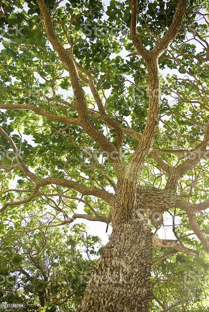 mighty ceiba tree with radiating branches stock photo