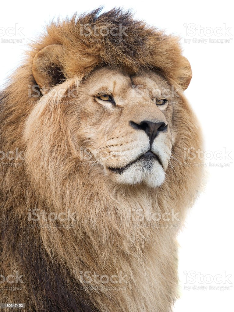 Mighty lion stock photo