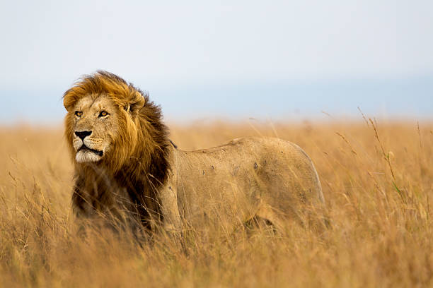 Mighty lion watching the lionesses picture id486552697?b=1&k=6&m=486552697&s=612x612&w=0&h=m5rrwcnt115e23ebtz2pbdjnygdlnsiaxei6hd7uita=