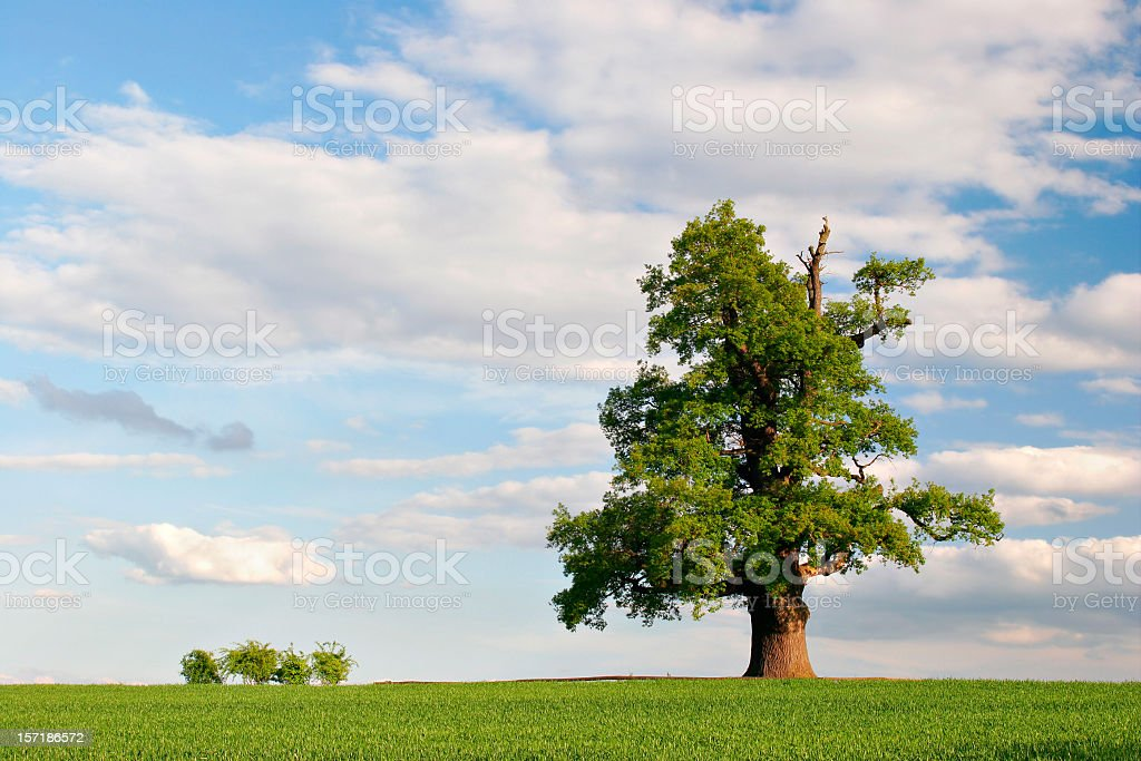 Mighty Oak in Spring royalty-free stock photo
