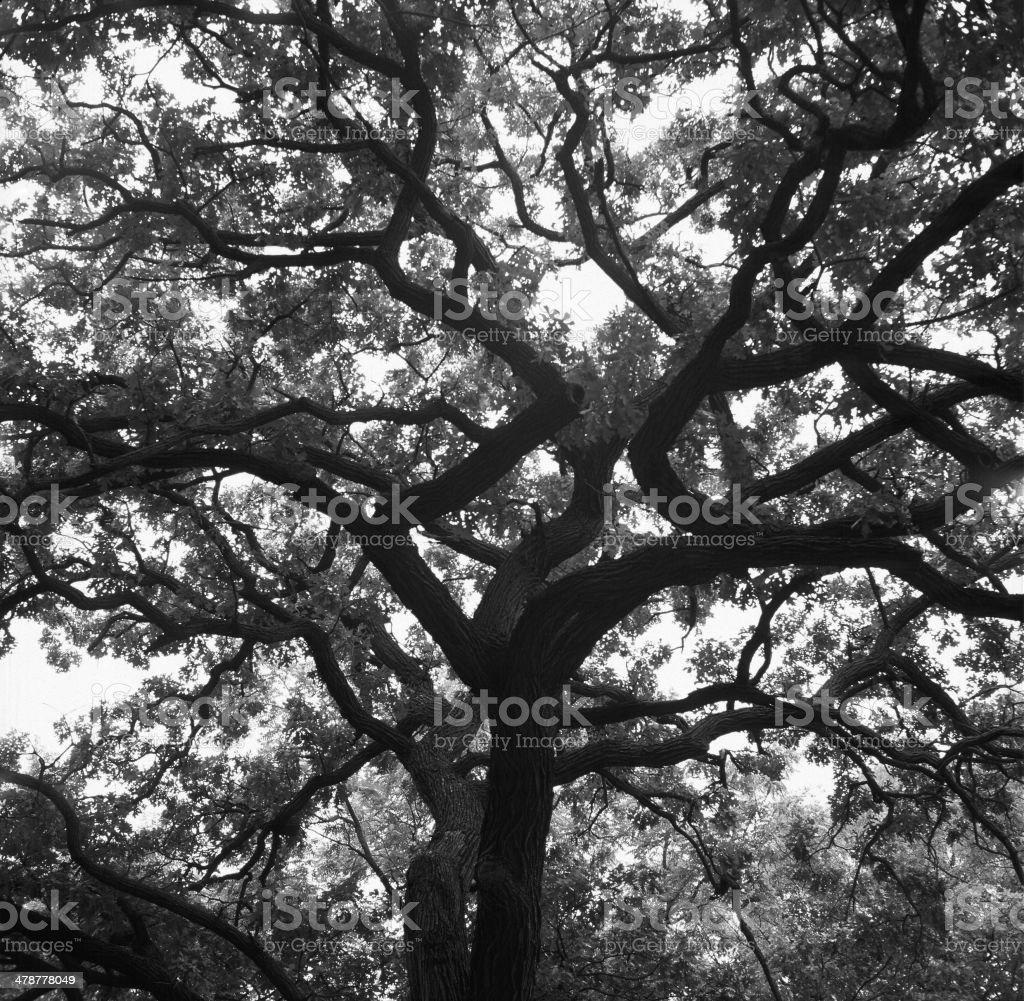 Mighty Oak royalty-free stock photo