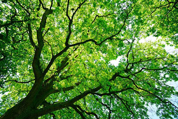 Mighty Oak Tree desde abajo - foto de stock