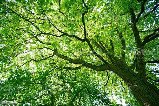 Photo of Mighty Oak Tree from below