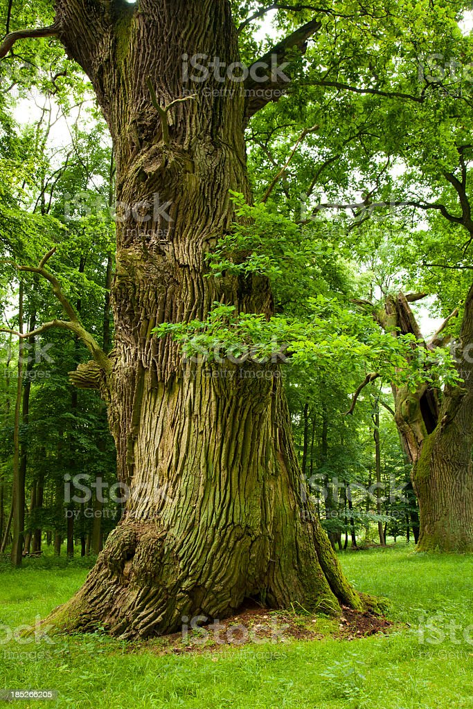 Mighty Oak Trees on a Clearing in the Forest royalty-free stock photo