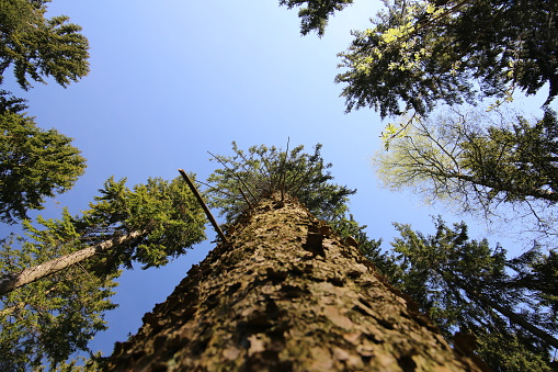 Mighty Pine Tree