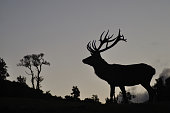 Silhouette of red deer stag, West Coast, South Island, New Zealand