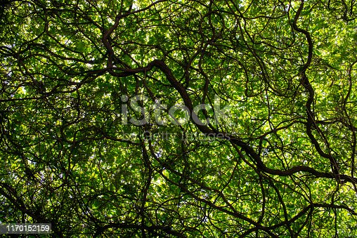 Photo of beautiful green tree and its branchs. Shoot in outdoor. The main light source is daylight. No people are seen in the frame.