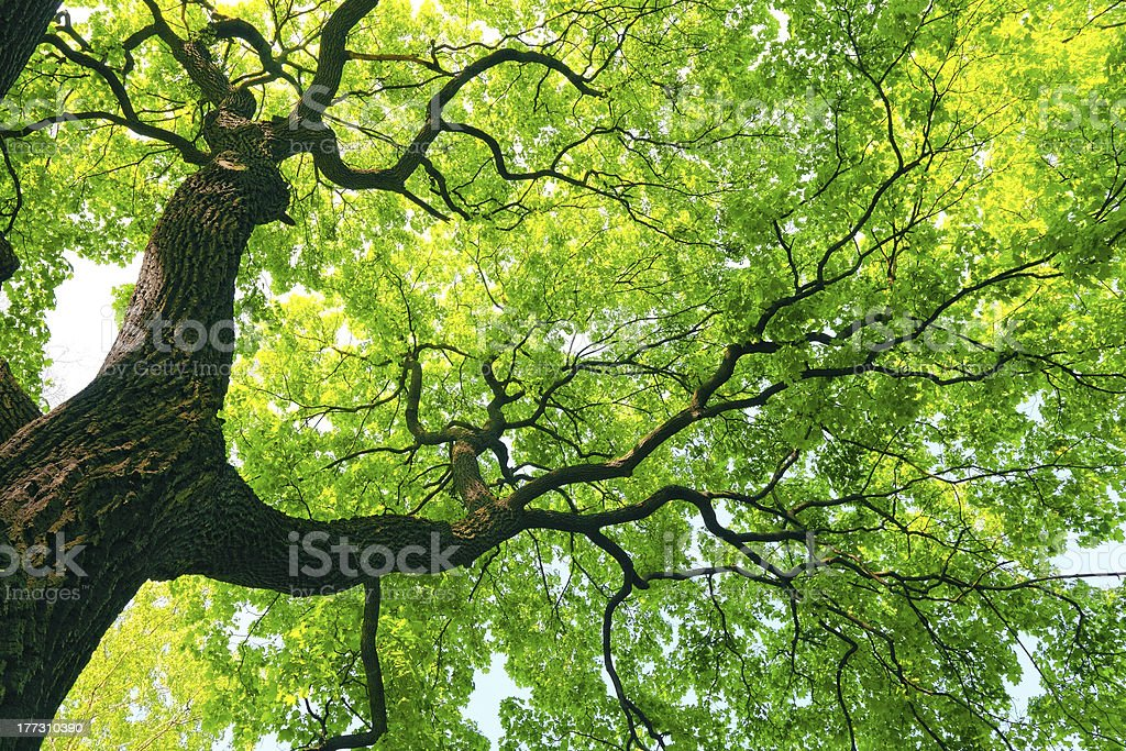 mighty tree with green leaves - foto de stock