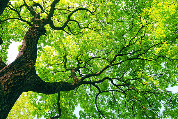 mighty tree with green leaves stock photo