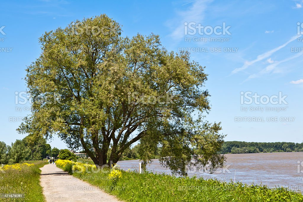 mighty willow tree on the Rhine river stock photo