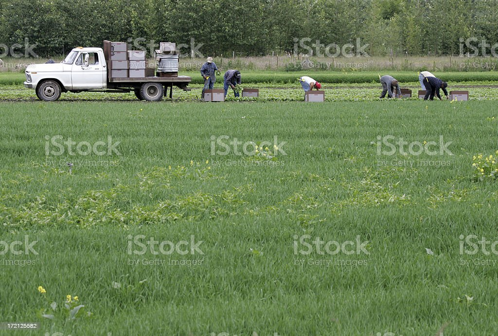 migrant farm workers royalty-free stock photo