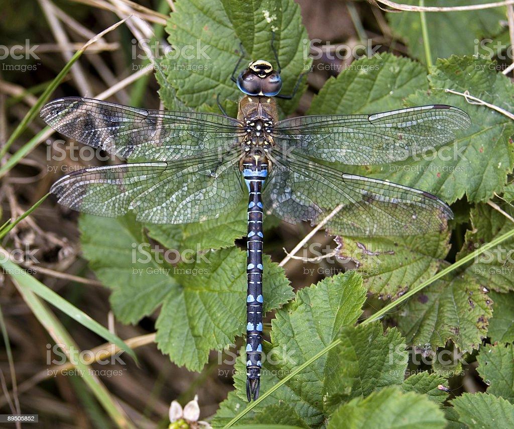 Migrant Hawker Dragonfly (Aeshna mixta) Male royalty-free stock photo