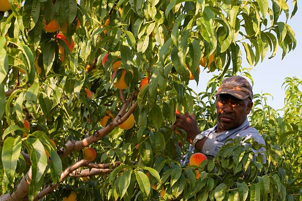 Migrant Worker Picking Peaches in Niagara, Canada Niagara on the Lake, Ontario, Canada - August 28, 2015: A migrant worker picking peaches in the early morning on a fruit farm in Niagara on the Lake migrant worker stock pictures, royalty-free photos & images