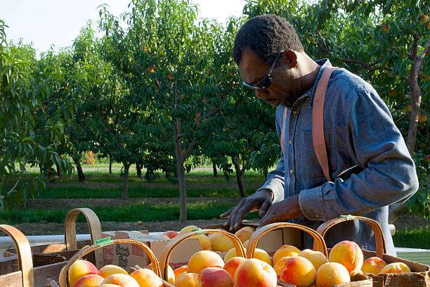 Migrant Worker Sorting Freshly Pickled Peaches in Niagara, Canada Niagara on the Lake, Ontario, Canada - August 28, 2015: A migrant worker sorting and packing peaches for transport to market in the early morning sun on a fruit farm in Niagara on the Lake migrant worker stock pictures, royalty-free photos & images