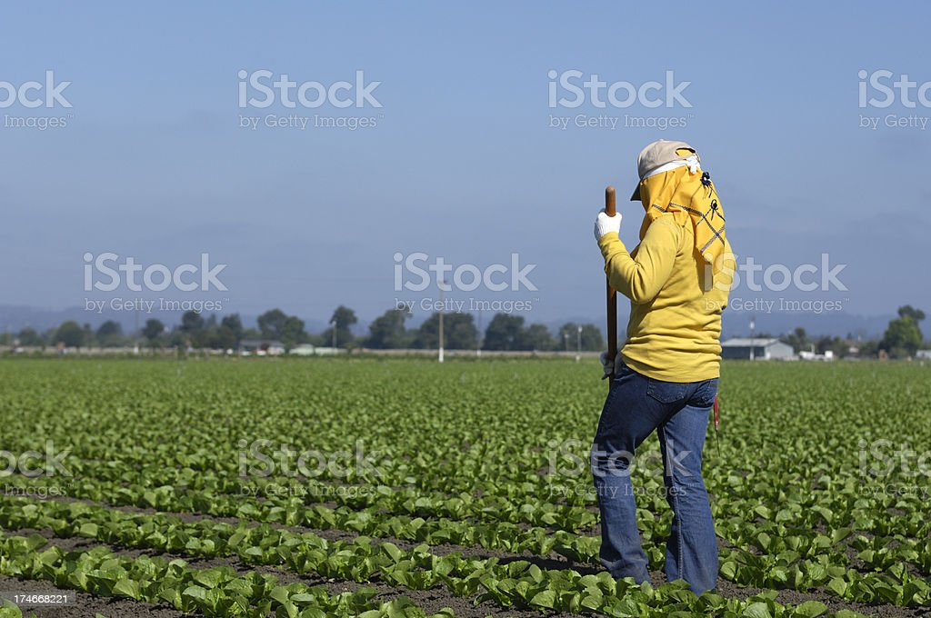 Migrant Worker Weeding Field of Leafy Vegetables stock photo