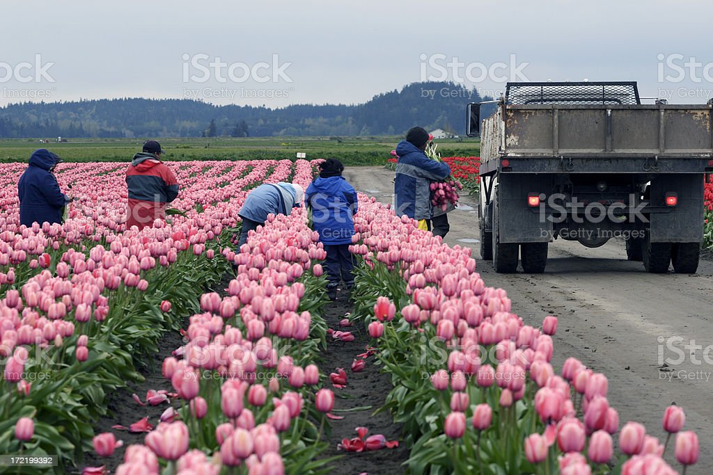 Migrant workers harvest tulips in Skagit County stock photo