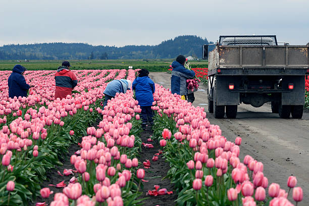 Migrant workers harvest tulips in Skagit County These migrant workers were hard at work harvesting the flowers in the beautiful tulip fields. It was an overcast and somewhat gloomy day but the brilliant flowers made up for the weather. migrant worker stock pictures, royalty-free photos & images
