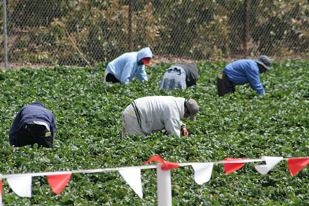 Migrant Workers in the field Migrant Workers picking strawberries in a field. migrant worker stock pictures, royalty-free photos & images