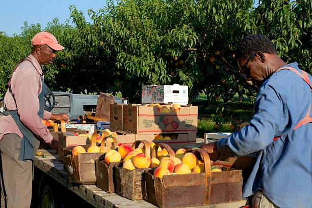 Migrant Workers Sorting Freshly Picked Peaches in Niagara, Canada Niagara on the Lake, Ontario, Canada - August 28, 2015: Two migrant workers sorting and packing peaches for transport to market in the early morning sun on a fruit farm in Niagara on the Lake migrant worker stock pictures, royalty-free photos & images